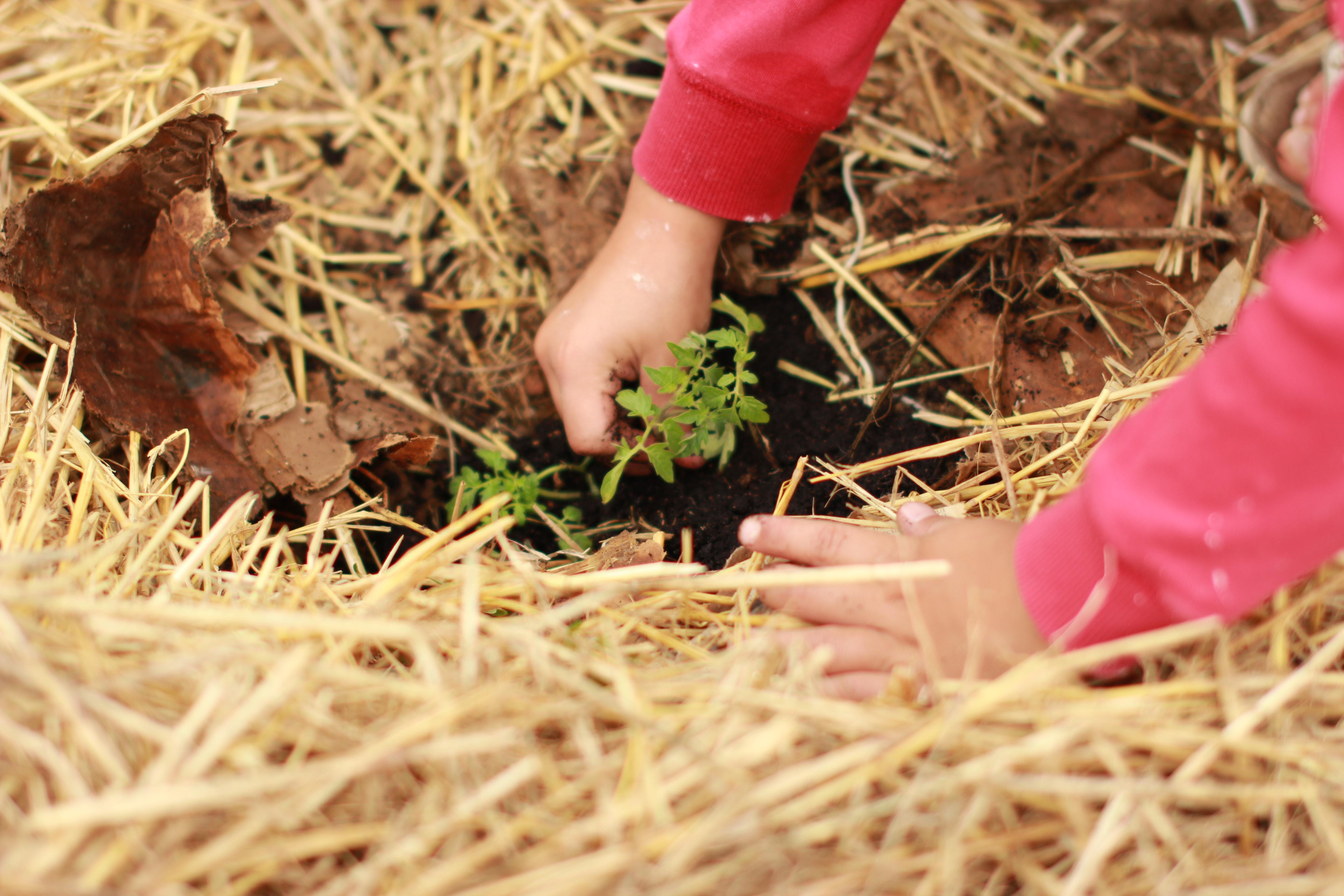 un enfant plante une jeune pousse.