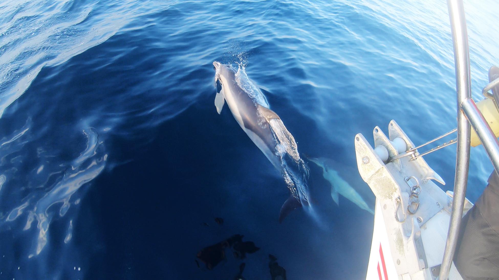 Une escorte de dauphins pour notre arrivée en terre espagnole