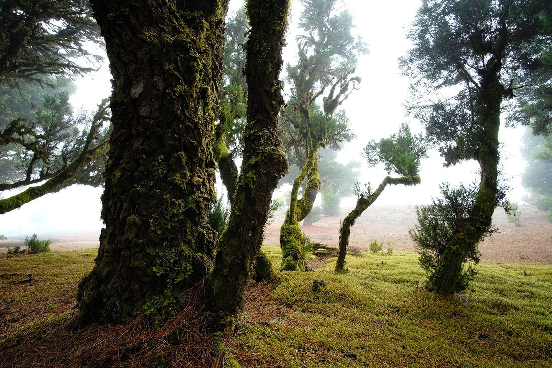Sur les hauteurs d'El Hierro, les lichens colonisent les arbres.