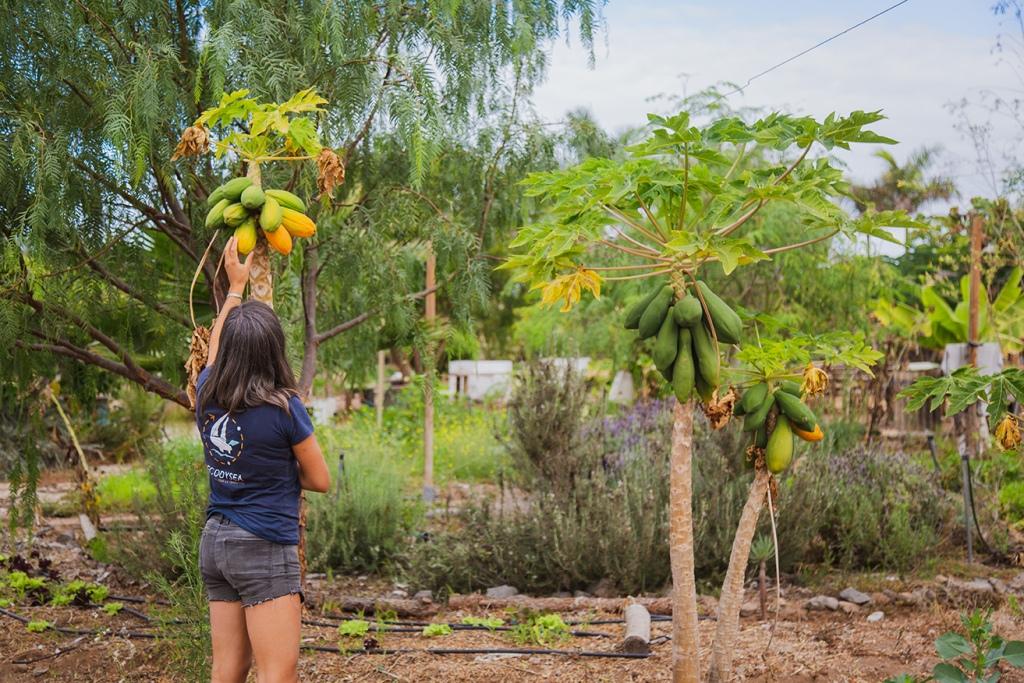 Des papayers dans un jardin dans une plantation sur l'île de Ténérife aux Canaries.